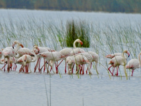 Lesser Flamingoes (Phoeniconaias minor) in Makakatana Bay- Leigh-Ann Morrison