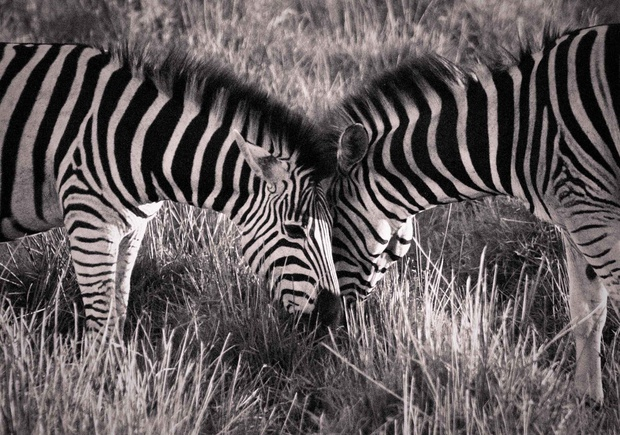 Zebra Love - Nikita Wrench