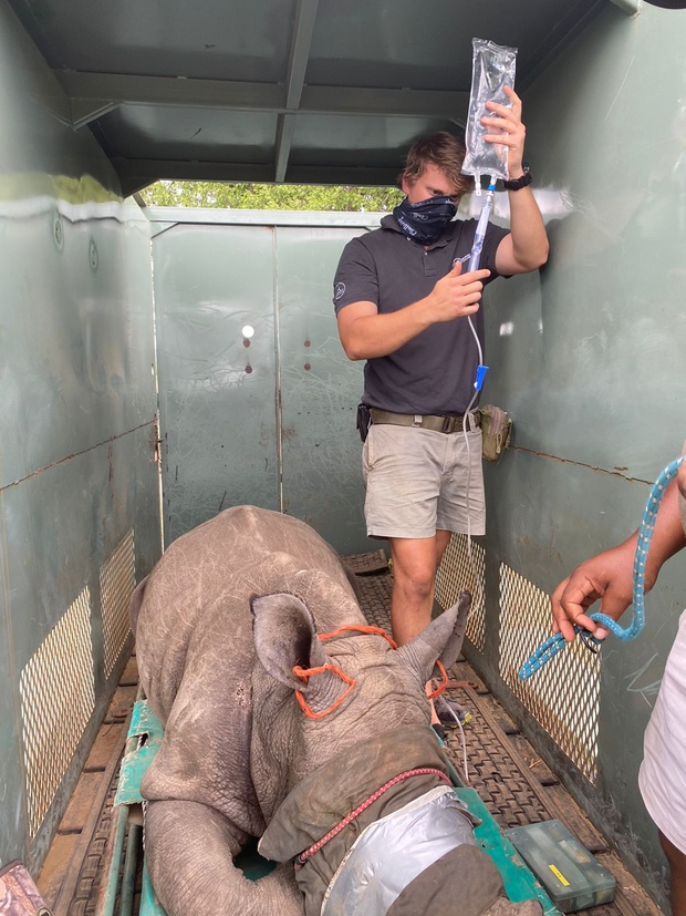 Orphan White Rhino being relocated to a place of safety.