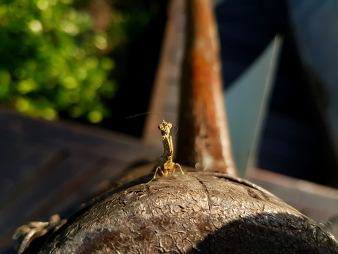 Praying Mantid admiring possibly his last sunset at Makakatana Bay Lodge