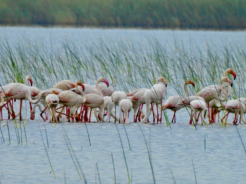 Lesser Flamingoes - Phoeniconaias minor - by Leigh-Ann Morrison